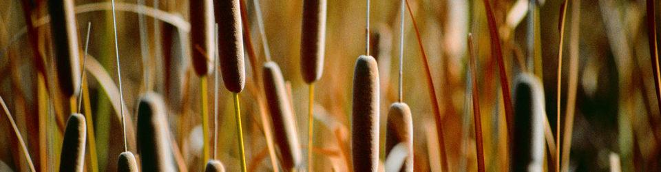 Blessingway Herbals Cattails